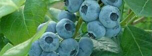 Draper Blueberries Protected by a Plant Patent